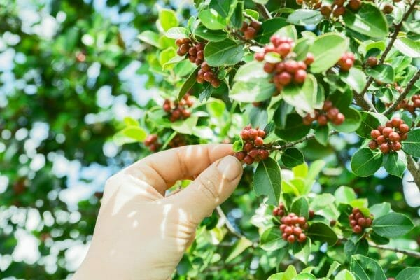 Peaberry Coffee Tree Picking
