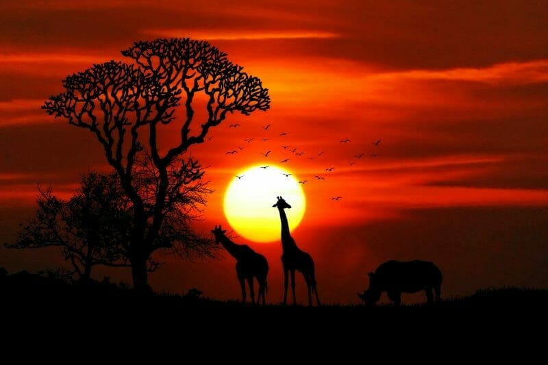 African Coffee Animals Sunset