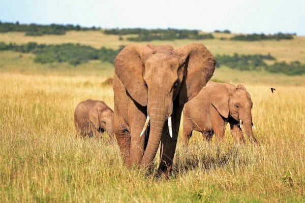 Kenya AA Coffee Elephant